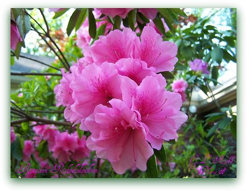 friends nature picnik rhododendroncatawbiense abigfave anawesomeshot fabulousflowers diamondclassphotographer flickrdiamond macroaward ilovemypics qualitypixels flickrsawesomeblossoms