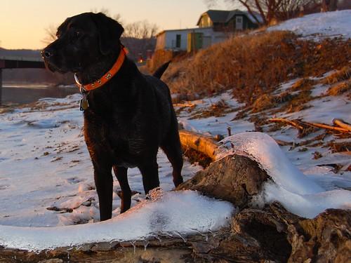 sunset dog snow river blacklab