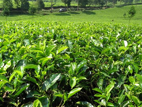 green nature leaf cool tea cileunca