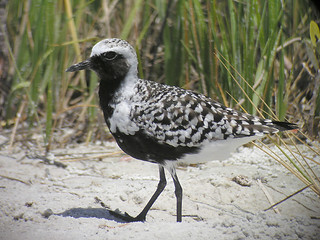 Black-bellied Plover - breeding | by Len Blumin