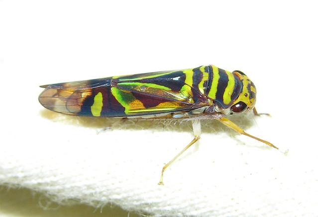 Jewel leafhopper (Dilobopterus sp), Peru