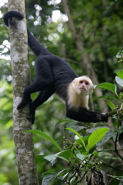 White-faced Capuchin Monkey hanging by its tail on a tree ...