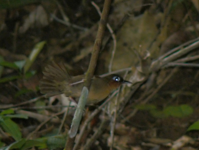 Rufous-throated Antbird (Gymnopithys rufigula)  Mgne des Singes 220407