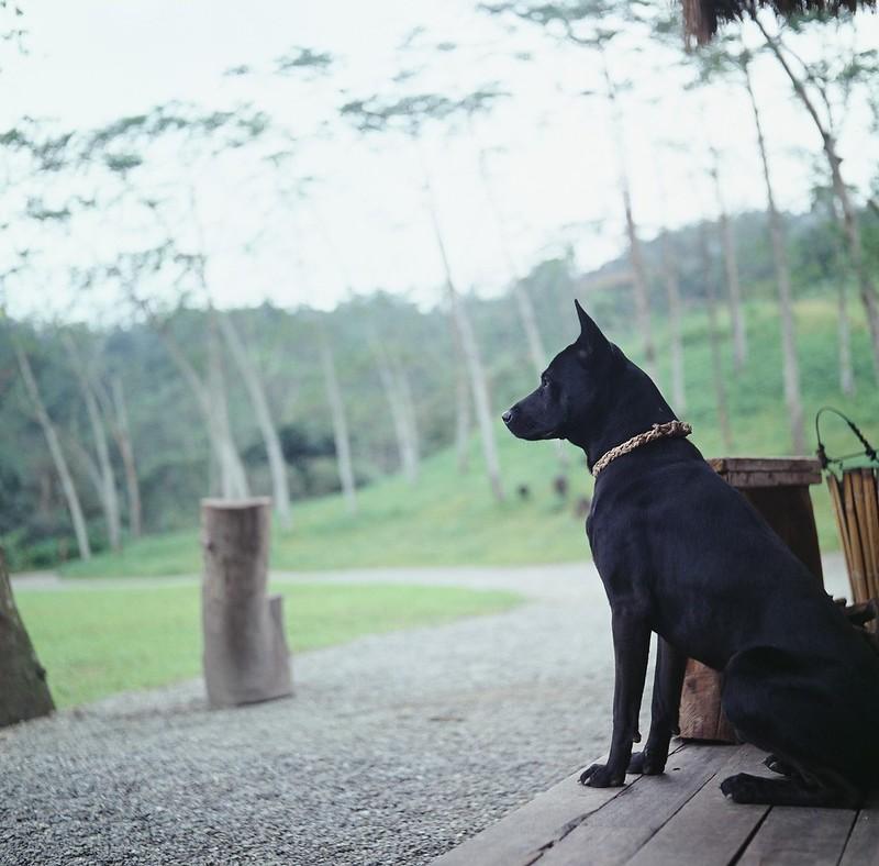 愛吠羊的黑狗