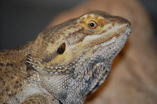 bearded dragon 1 | by lslbrian