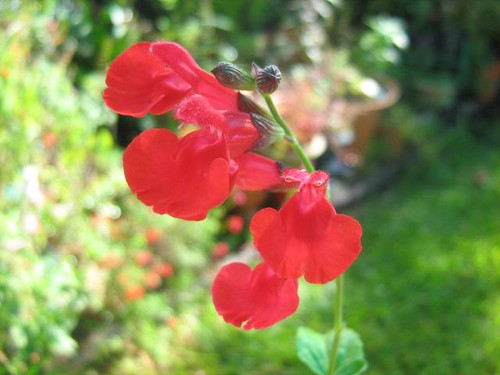 Salvia microphylla x 'Red Velvet' | by AussieSalviaGal
