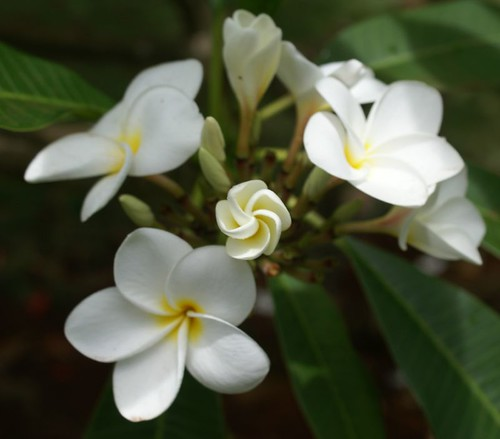 Mothers' Day at the Allerton--Plumeria 3 | by Makuahine Pa'i Ki'i