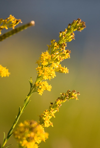 flowers flower color yellow canon geotagged gold goldenrod