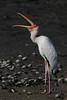 Milky Stork, Mycteria cinerea by kampang