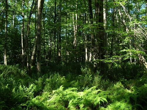 trees plants forest geotagged woods walk maine edge ferns bog birchisland geo:lat=44921148 geo:lon=69398317 haphazartlikeapainting