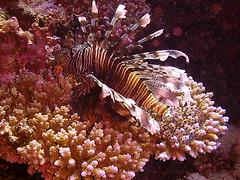 Lion Fish Red Sea HDF Soouth Tour 2005