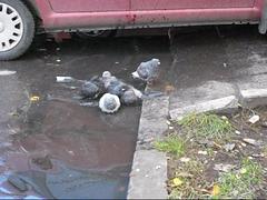 pigeons taking a refreshing bath