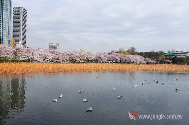 東京櫻花祭_上野公園_0648a