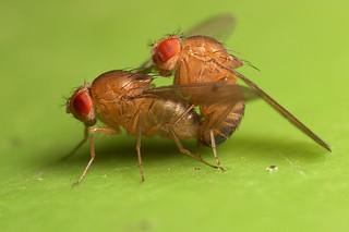 An introduction to fruit flies