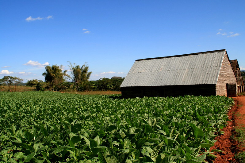 tobacco plantation and drying shed