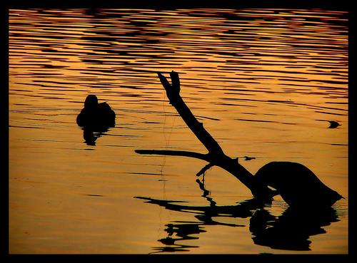 sunset lake water silhouette golden geese nc branch shadows ducks northcarolina raleigh serene ripples chrysti shelleylake aplusphoto