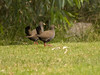 Black-tailed Native Hen by DeeDee53