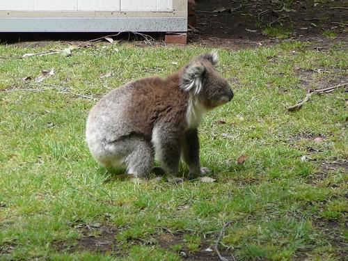 Koalas II 109 | jhowardowen | Flickr