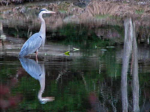 bird pond catskills blueheron beaverpond ulstercountyny