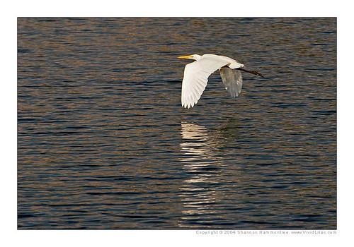 morning lake reflection sunrise florida kendall greategret