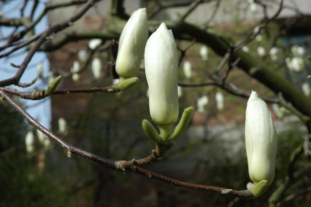 Large Perfect White And Green Magnolia Tree Flower Buds E Flickr