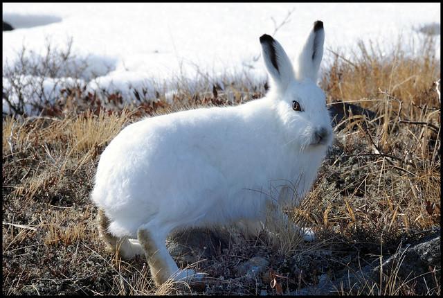 Lepus arcticus ... Arctic Hare