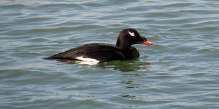 White-winged Scoter (male) | by don r faulkner