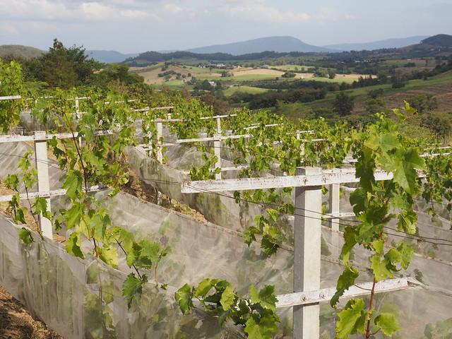 © Thai Wineyard Alcidini Winery Khao Yai - Weingut Winzerei