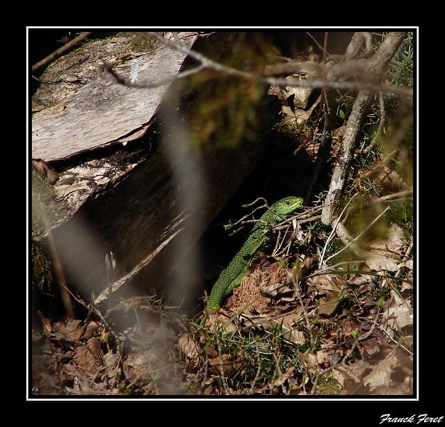 lezard vert    **zone lapiazée de  myon **