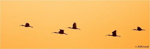 nature beauty twilight birding flight ibis canon40d canon400f56l