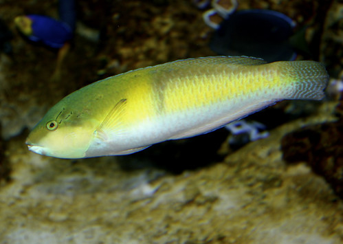 Yellowhead Wrasse | by Ron's Aquarium Photos