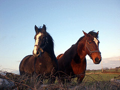 two-irish-horses | by For91days
