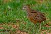 Button quail by Shanaka de Silva
