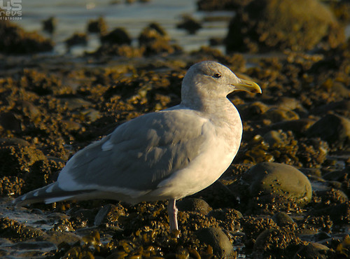 glaucous-winged gull (larus glaucescens) | by punkbirdr