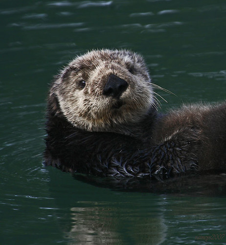 Otter Stare | by raineys