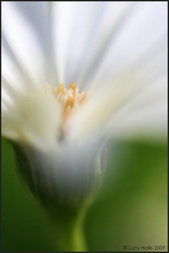 white abstract flower macro canon petals flora pretty bokeh 100mm daisy xti 400d