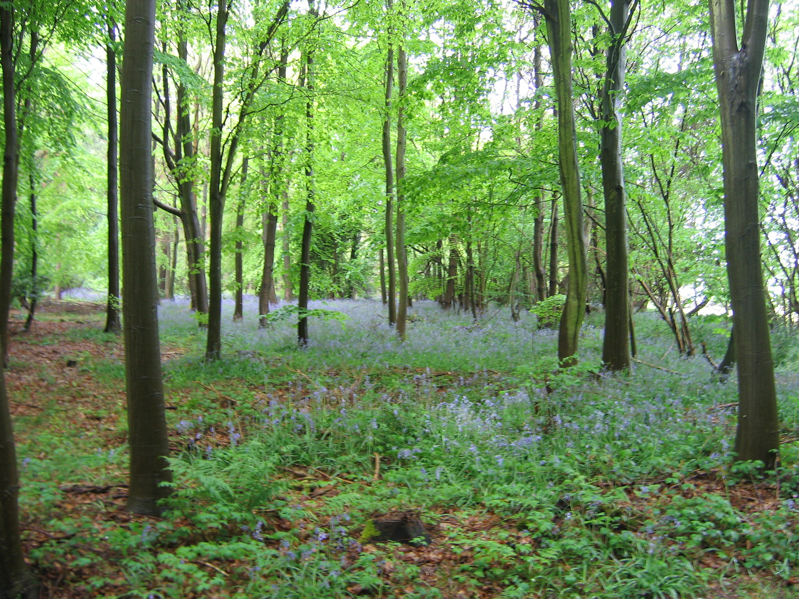 Beech Wood and Bluebells Wendover Circular.