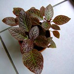 喜蔭 Episcia cupreata(from chch)
