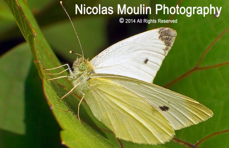 Pieris mannii (Male addult) by Nicolas Moulin (Nimou)