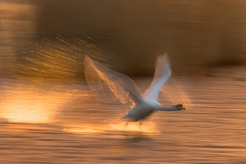sea sun motion blur reflection bird water birds wales backlight sunrise canon contraluz eos gold dawn golden coast fly flying interestingness swan gallery wing cardiff spray explore motionblur takeoff cardiffbay contrejour controluce contrallum explored 400d canoneos400d wentloog stevegarrington world100f wetlandsanctuary