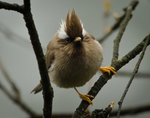 White-collared Yuhina | by pinebird