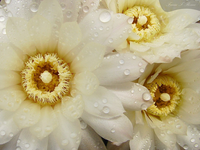 Flor del desierto