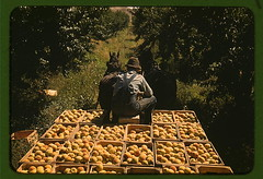 Hauling crates of peaches from the orchard to the shipping shed, Delta County, Colo.  (LOC) | by The Library of Congress