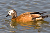 Female South African Shelduck by Duncan Forrest