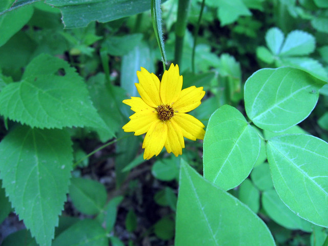 Coreopsis lanceolata, Tickseed, Big South Fork, TN