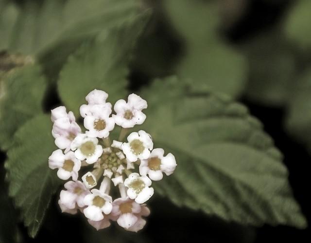 Flower in Sepia