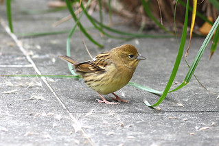 野鵐 Japanese Yellow Bunting Female | by dotcool