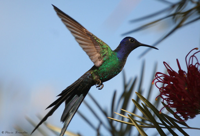 Série com o Beija-flor Tesoura (Eupetomena macroura) - Series with Swallow-tailed Hummingbird 30-05-2008 073