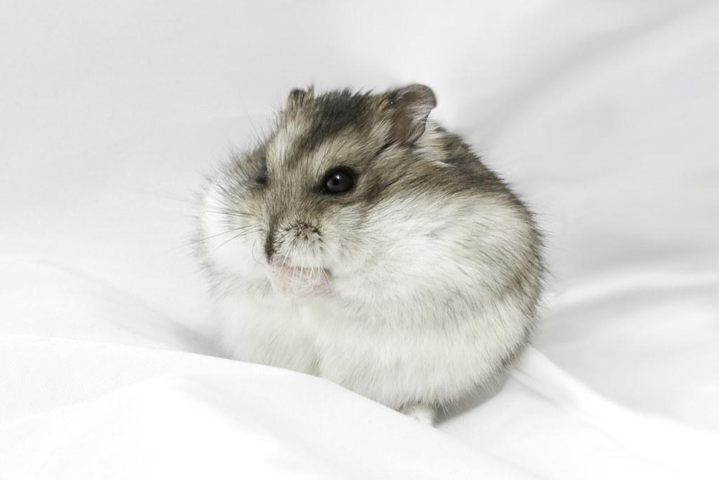 Dwarf hamster | My website: www Peregontsev com You can buy