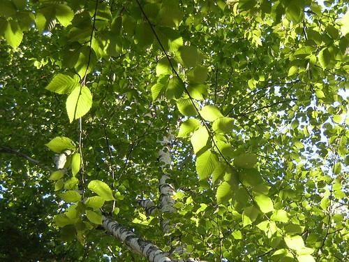 above light sun white tree green leaves lines sunshine geotagged 2000 view patterns branches maine lookingup lookup hammock birch shining 2000th birchisland fromthehammock geo:lon=69398317 geo:lat=44921163